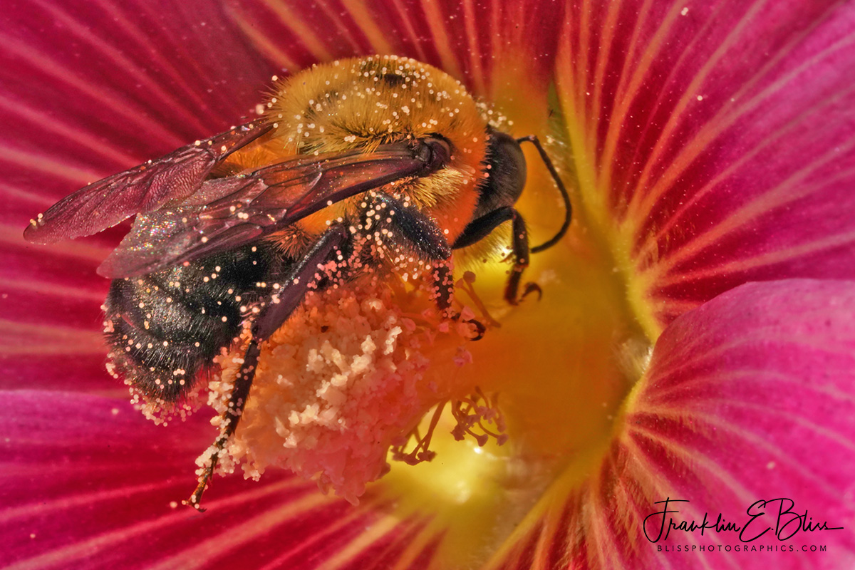 Bee Pollen Mining on Hollyhock