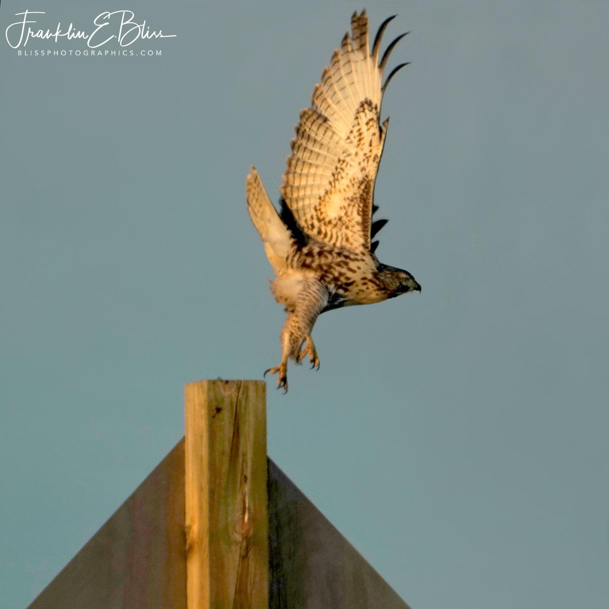 Ferruginous Hawk Launching