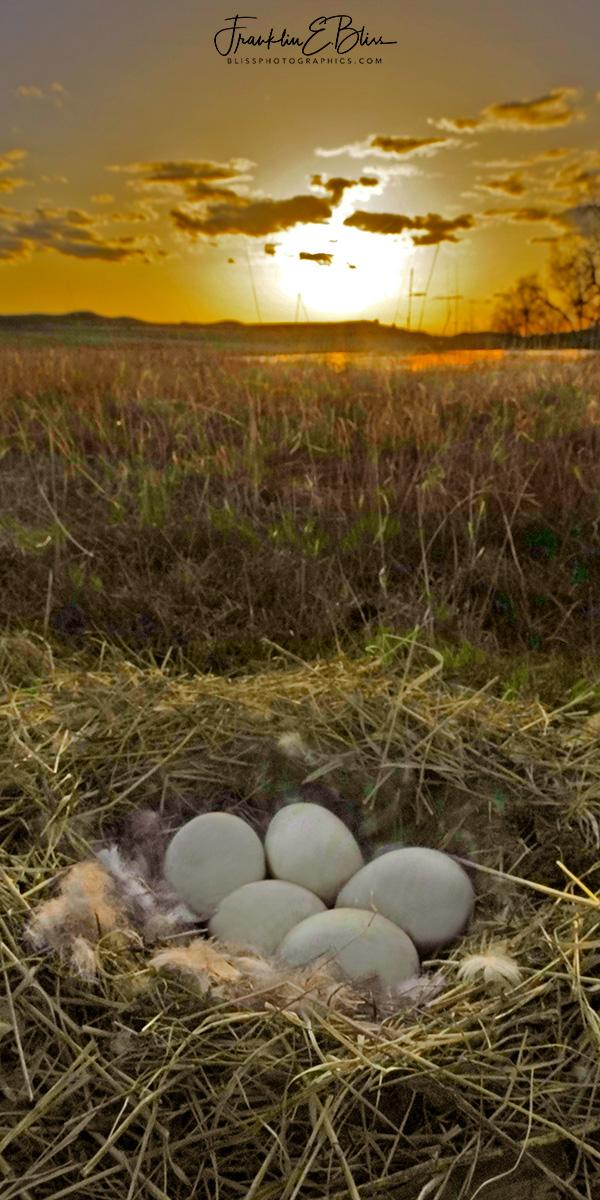 Canada Goose Nest Sunset