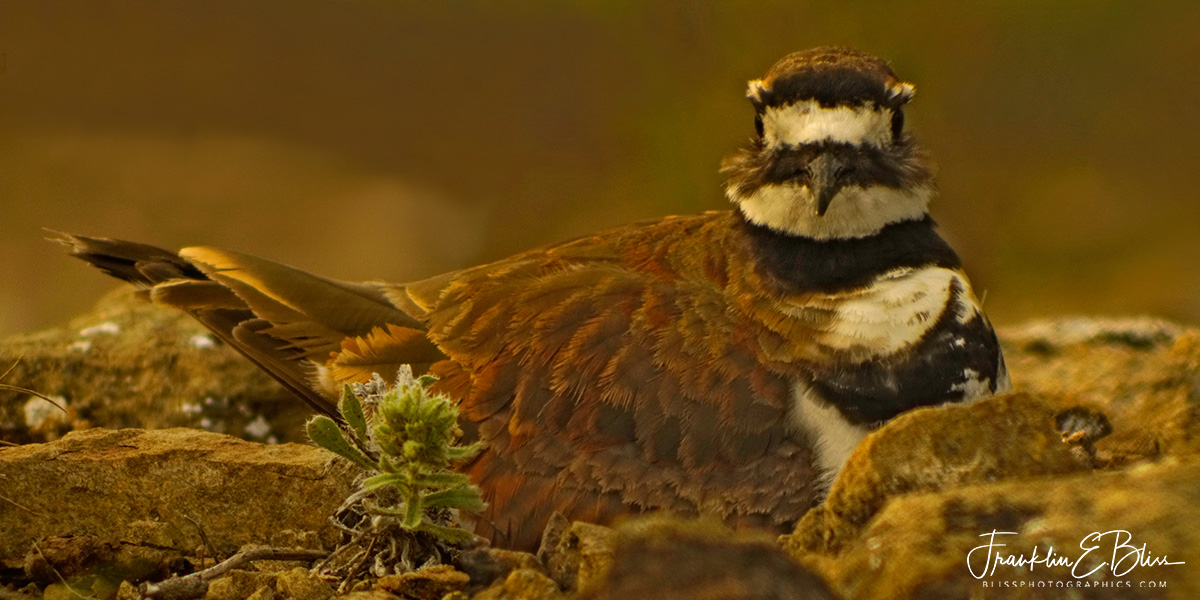 Killdeer Nest on the Rocks