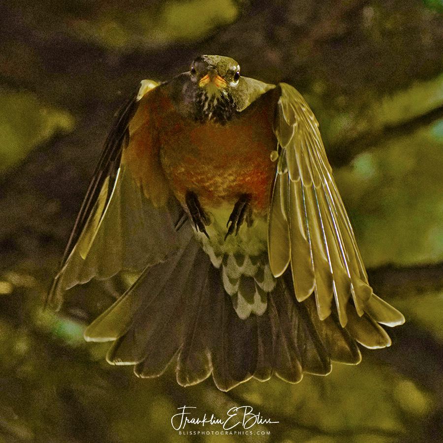 Robin Head On Close