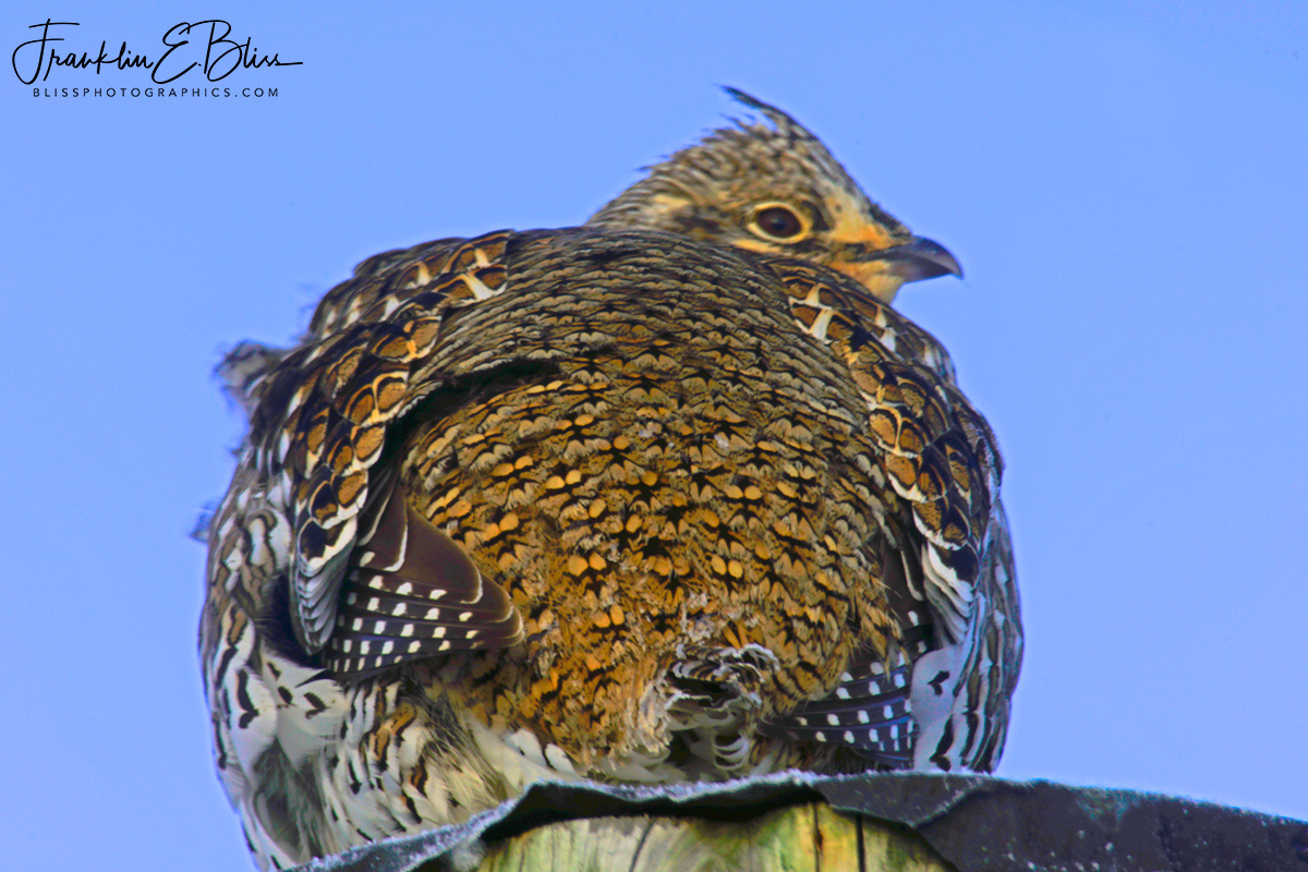 Sharp Tail Grouse's Tail