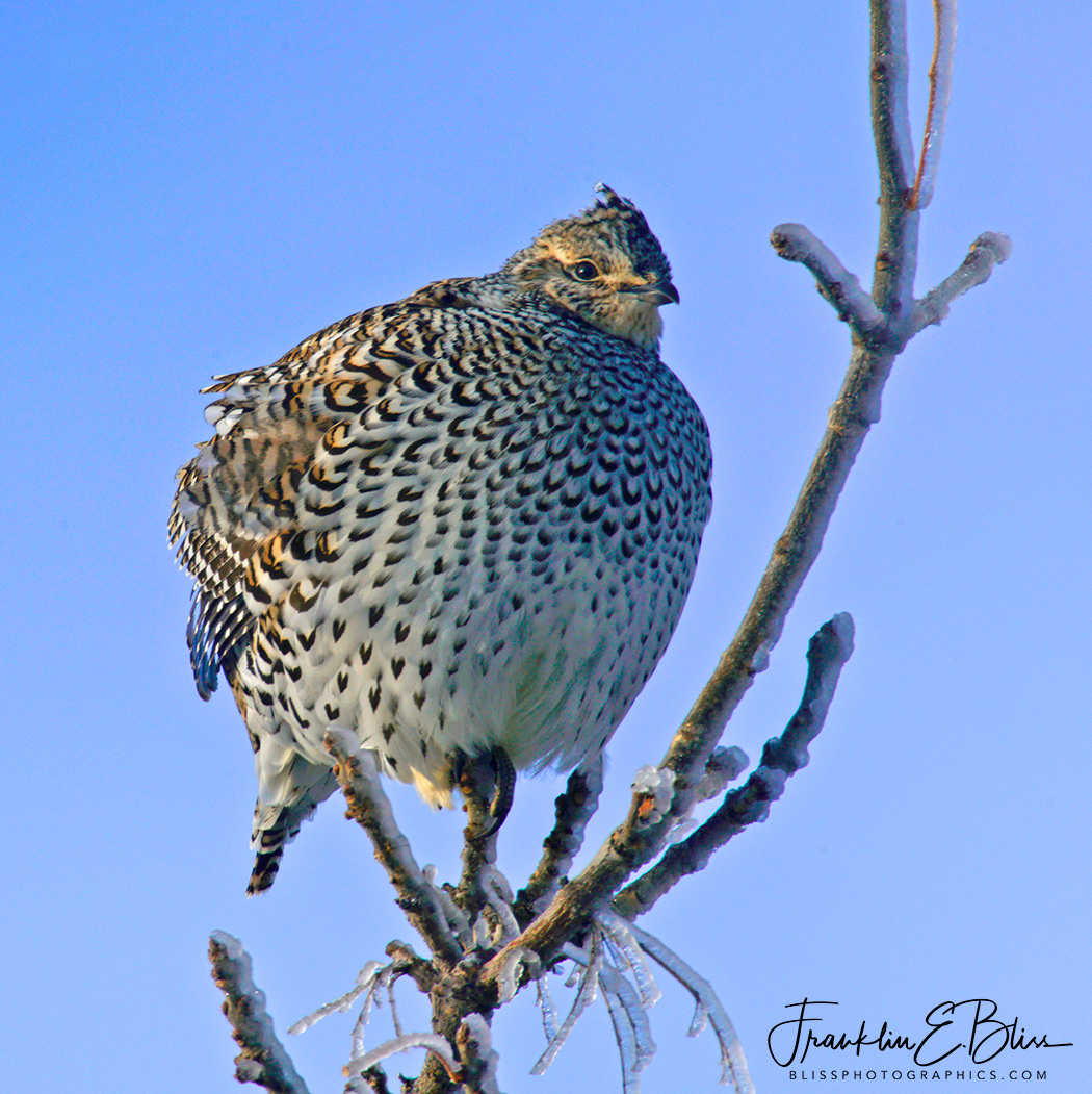SharpTail Grouse Icy Perch