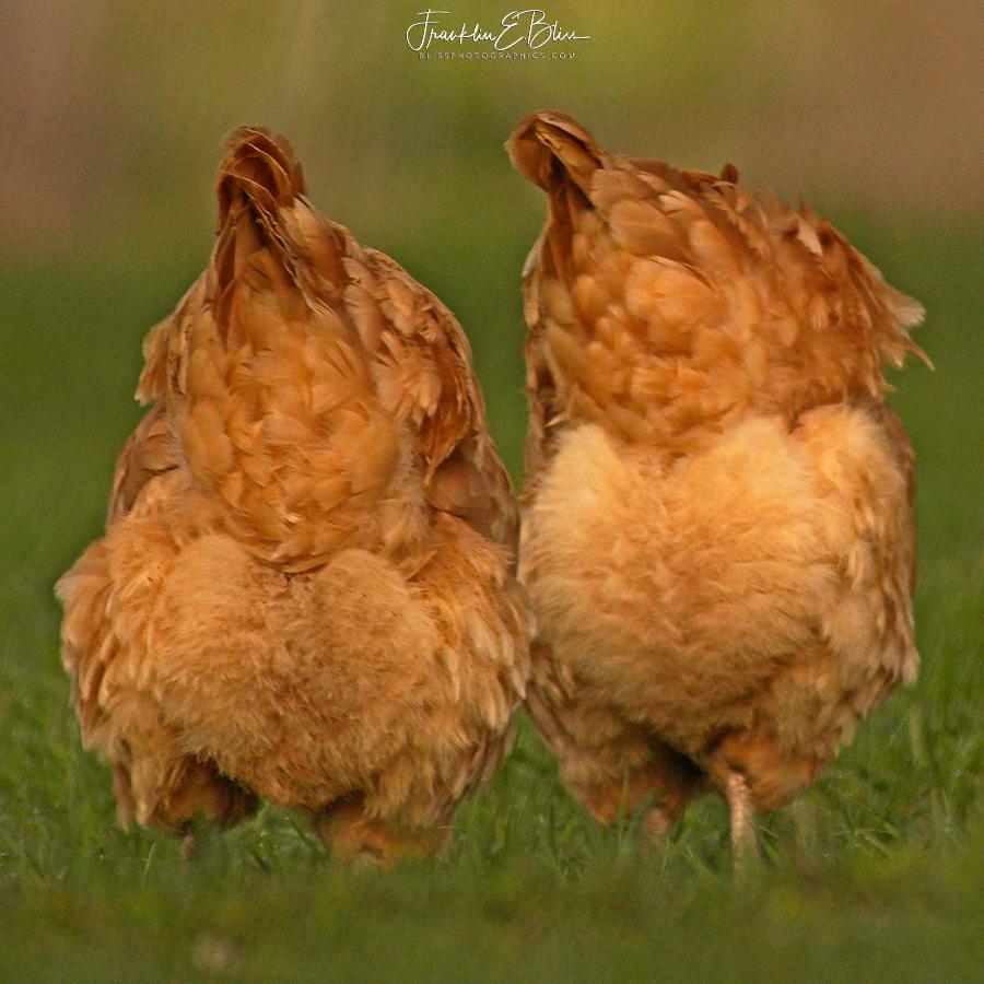 Chicken Butt Hearts