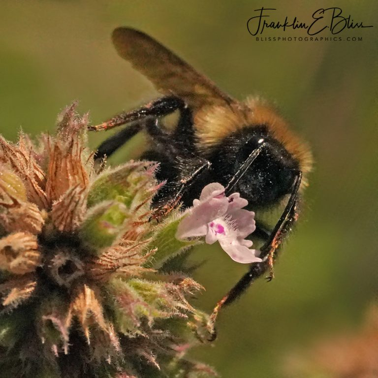 Bee On a TINY Bloom 110719D