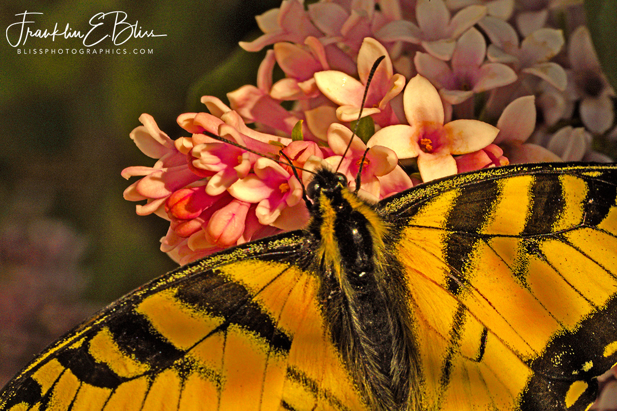 Swallowtail on Pink Lilacs