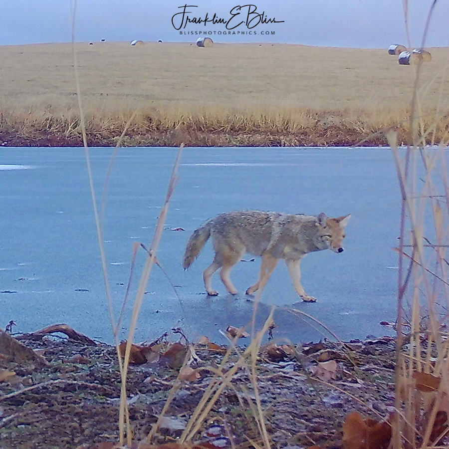 Coyote on Razors Edge