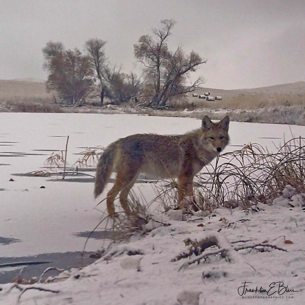 Coyote On Thin Ice
