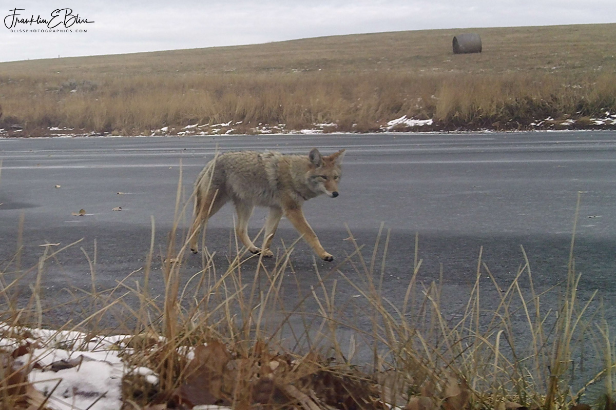 Coyote Prowling on Thin Ice