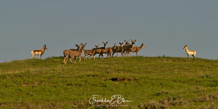 Deer With Pronghorn Bookends110819R