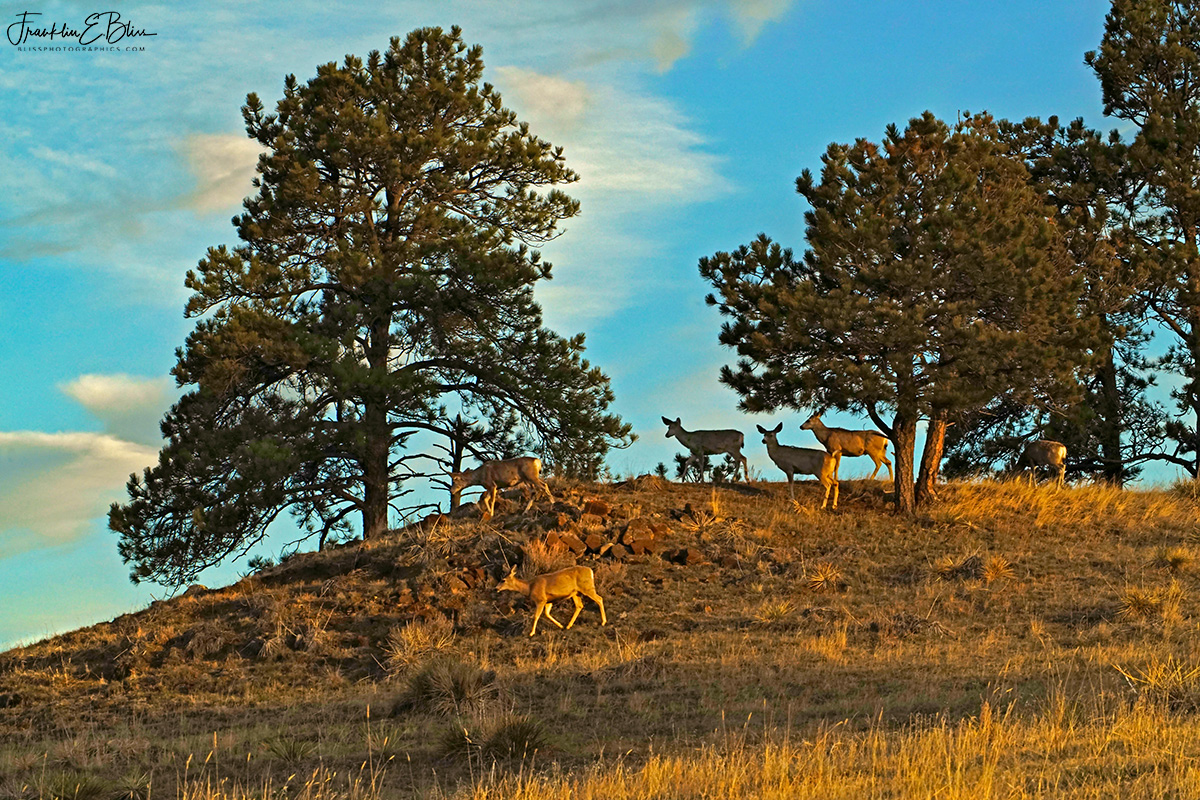 Sunset Ridge Deer Herd