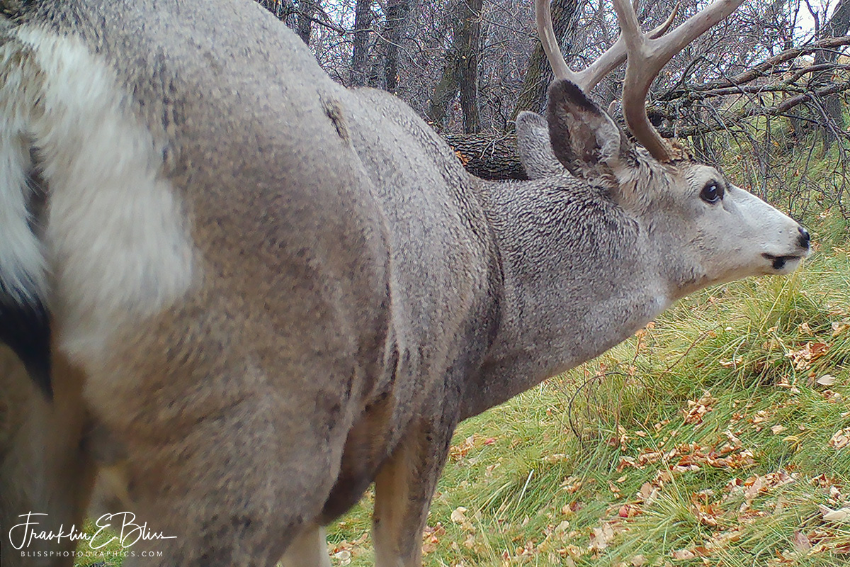 Perspective Mule Deer Buck