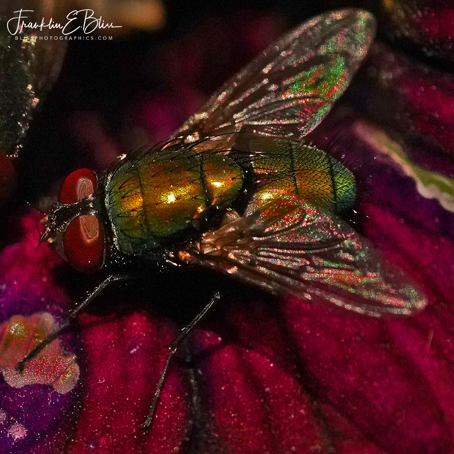 Iridescent Golden Back Fly