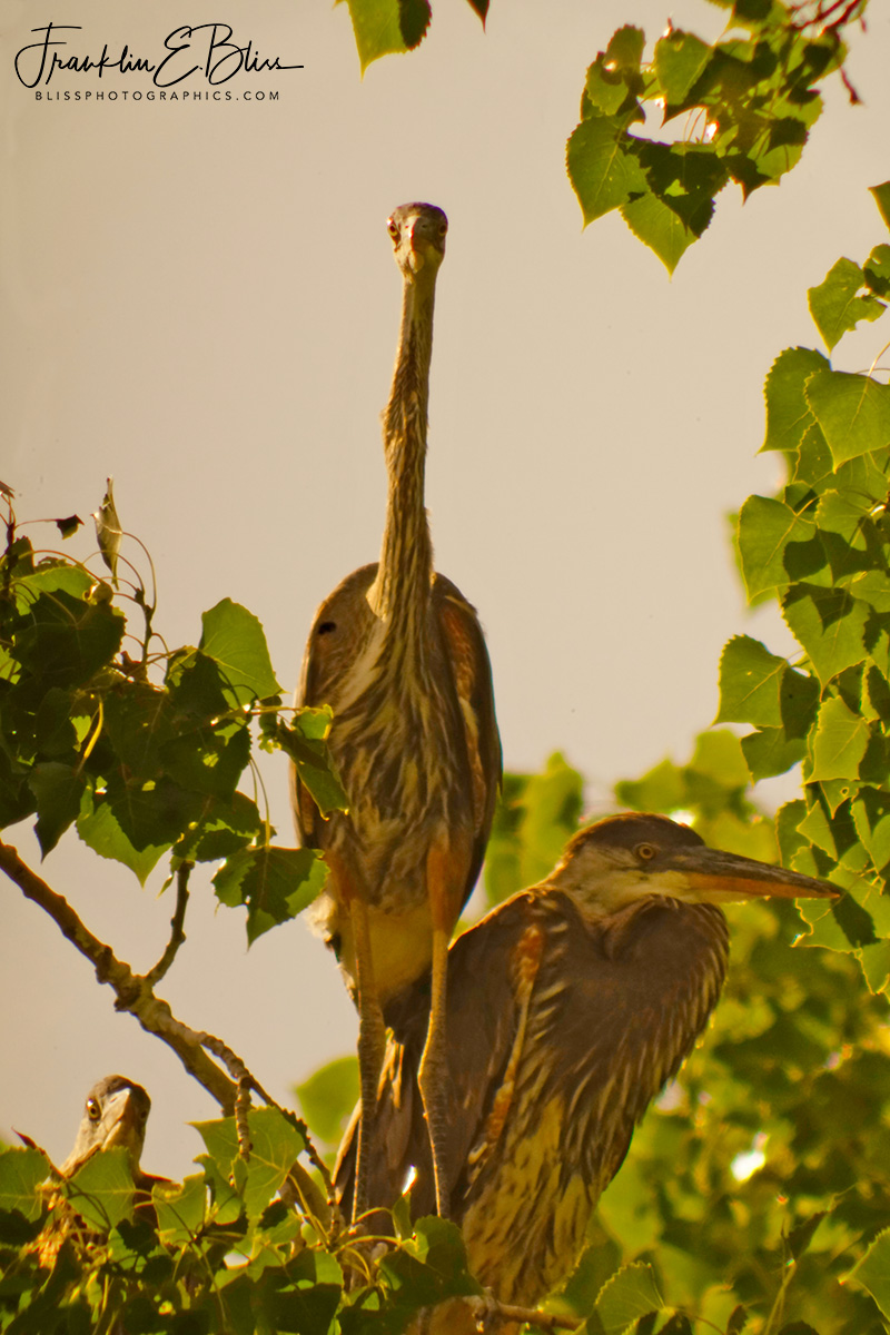 Fledgeling Great Blue Herons
