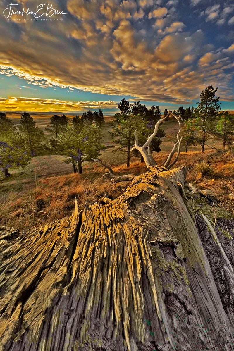 Perspective: Twisted Pine Sun Down