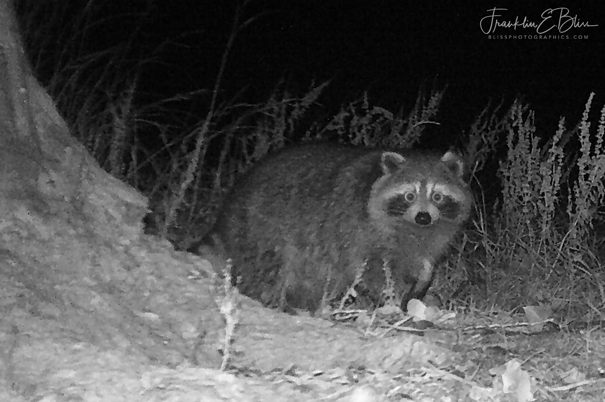 Raccoon Caught Prowling Infra-red