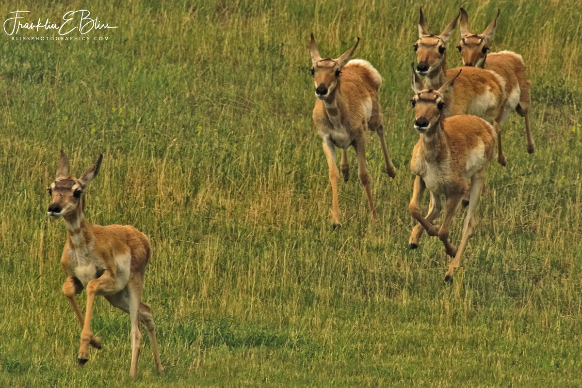 Pronghorn Fawns Running at Me