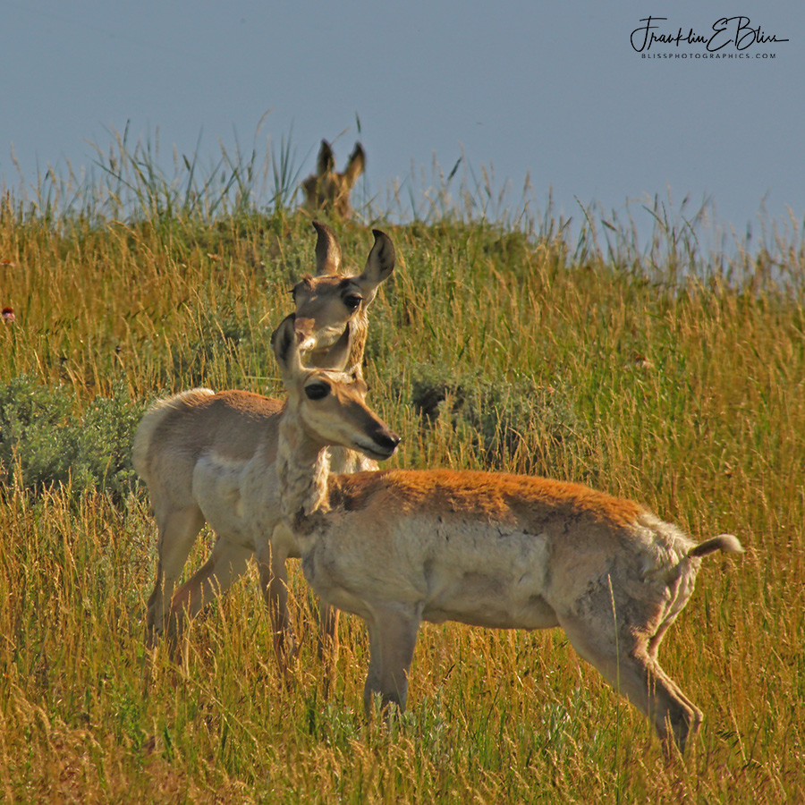 Pronghorns Lining Up