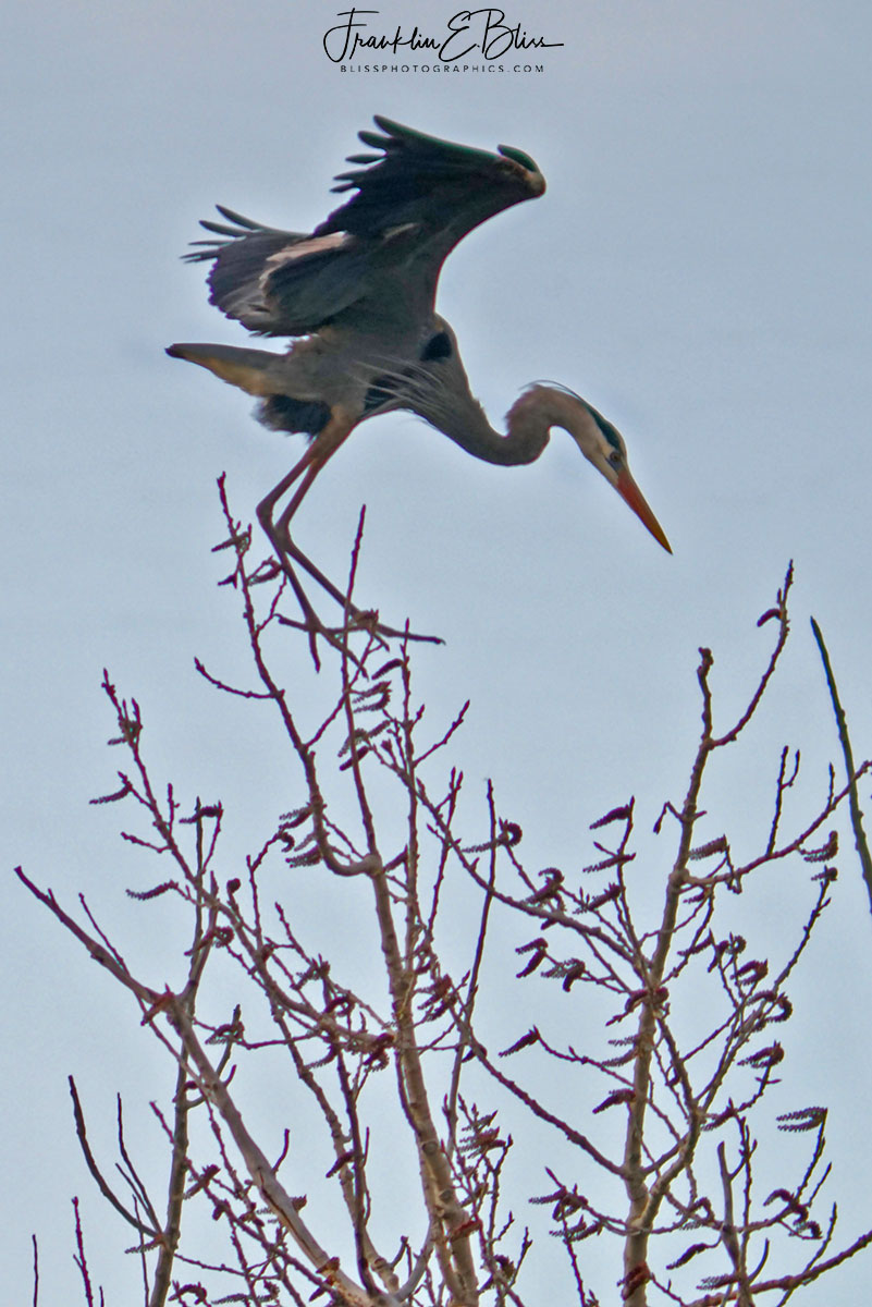 Blue Heron Stall Speed
