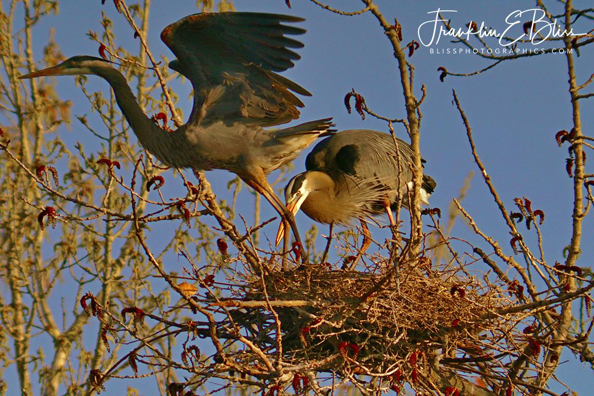 Blue Heron Shift Change
