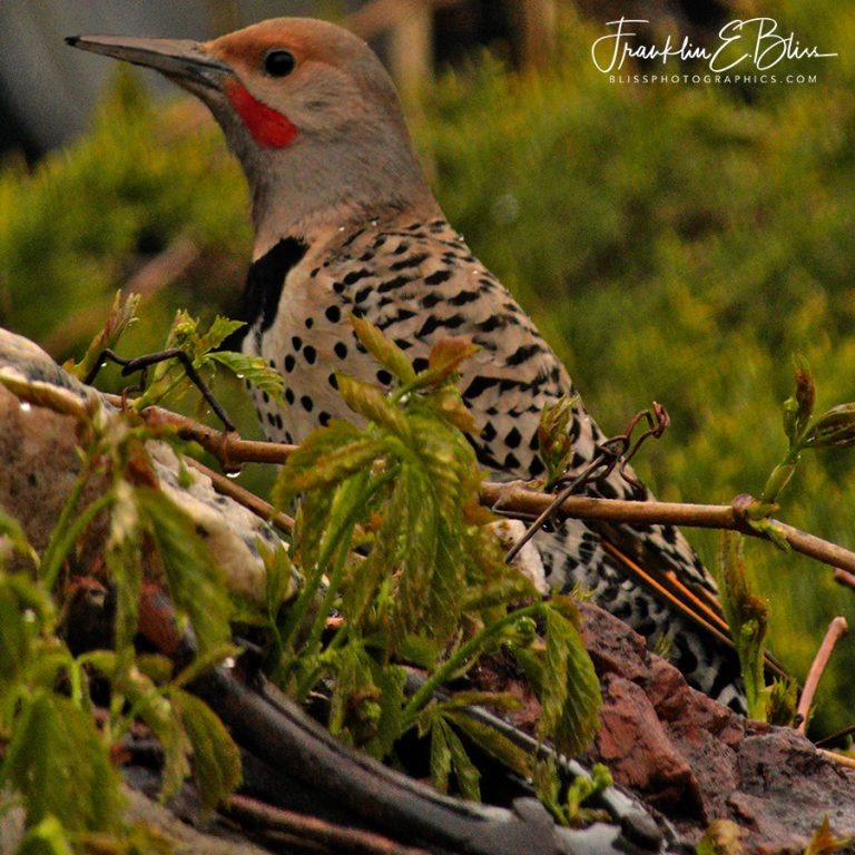 Northern Flicker Enjoying the Weather 120419T