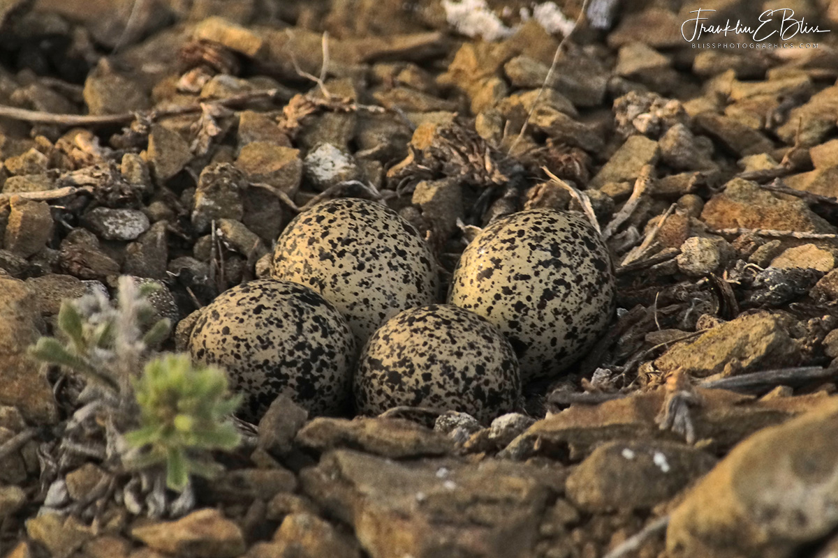 Killdeer Nest on Soft Rocks
