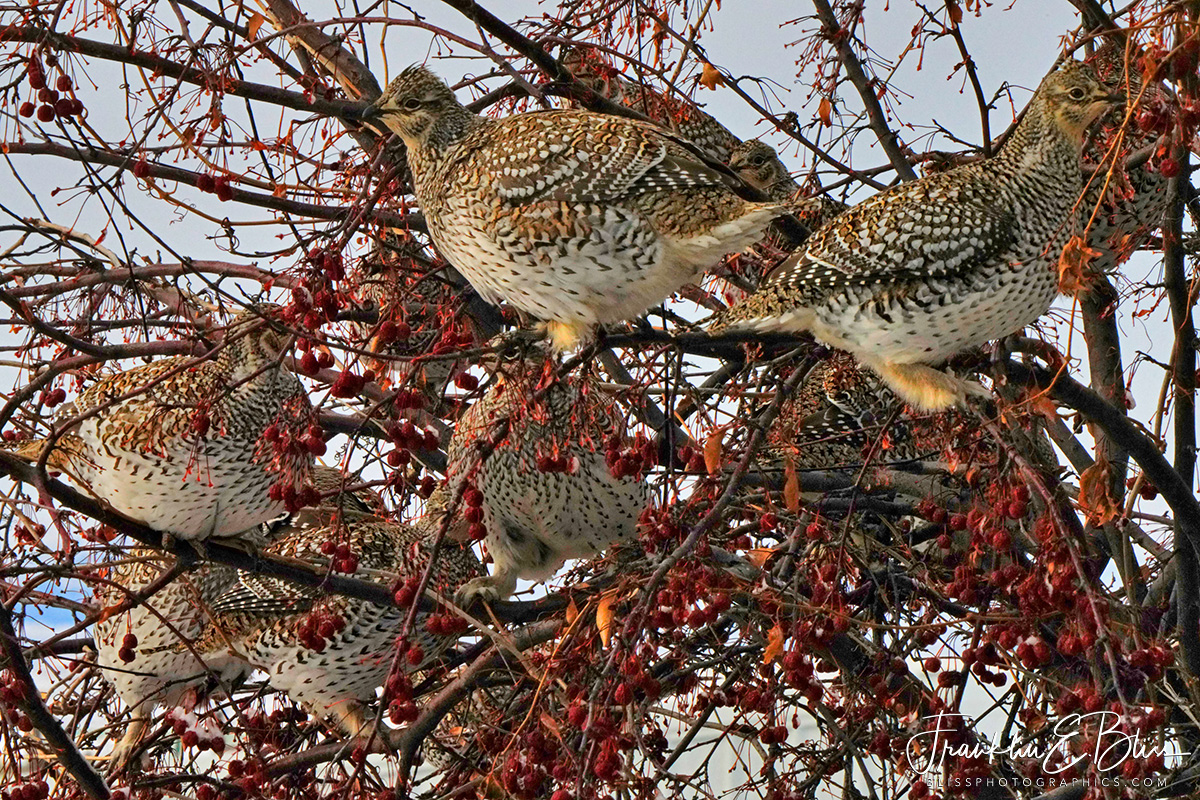 Baker's Dozen Sharp Tailed Grouse