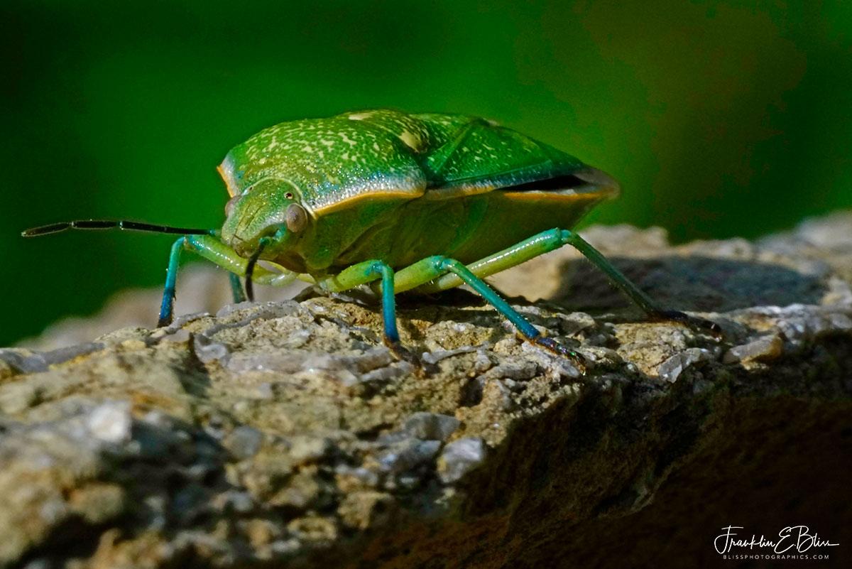Green Stink Bug Macro