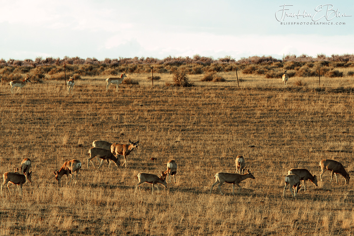 Deer 13 Pronghorn 4