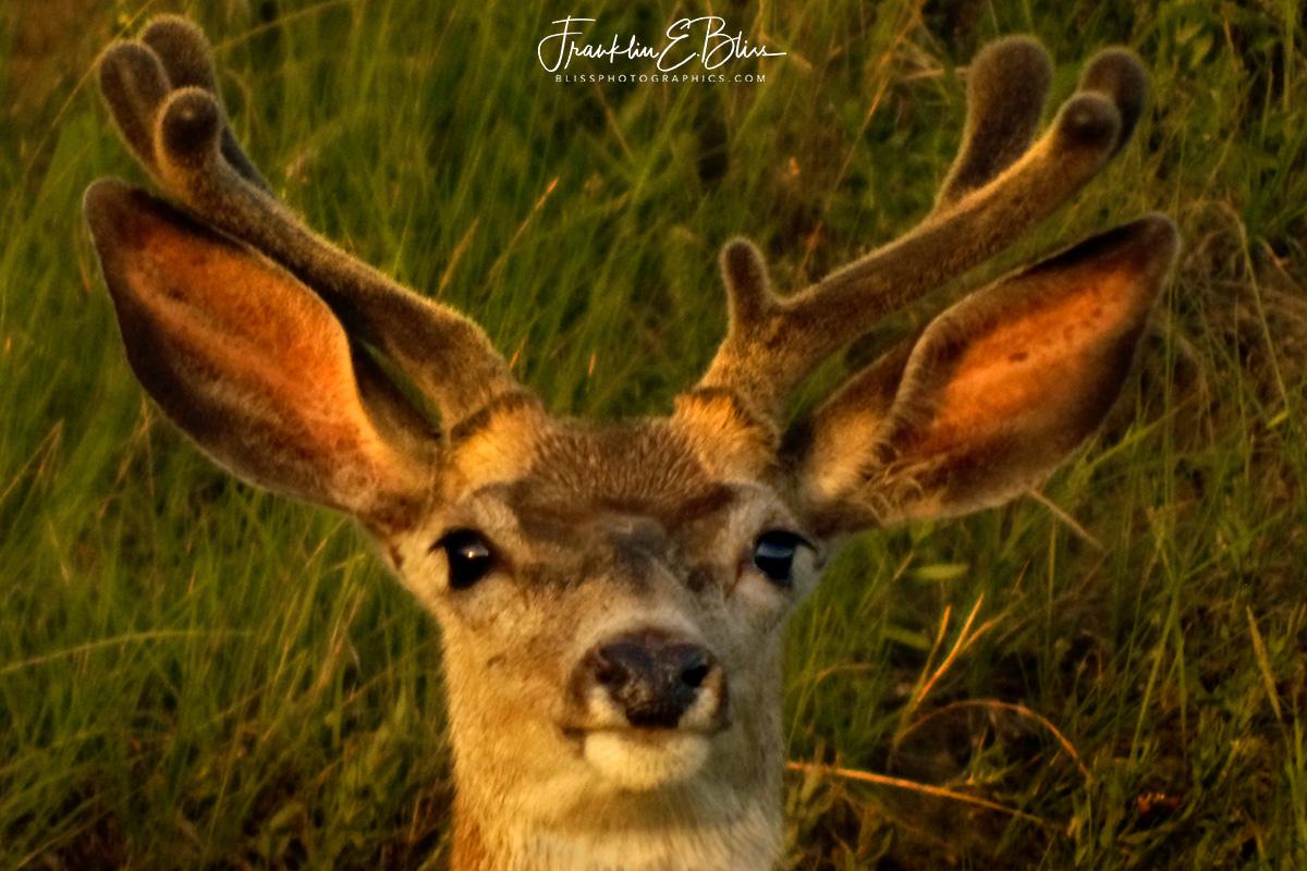 SpringTime Velvet Buck