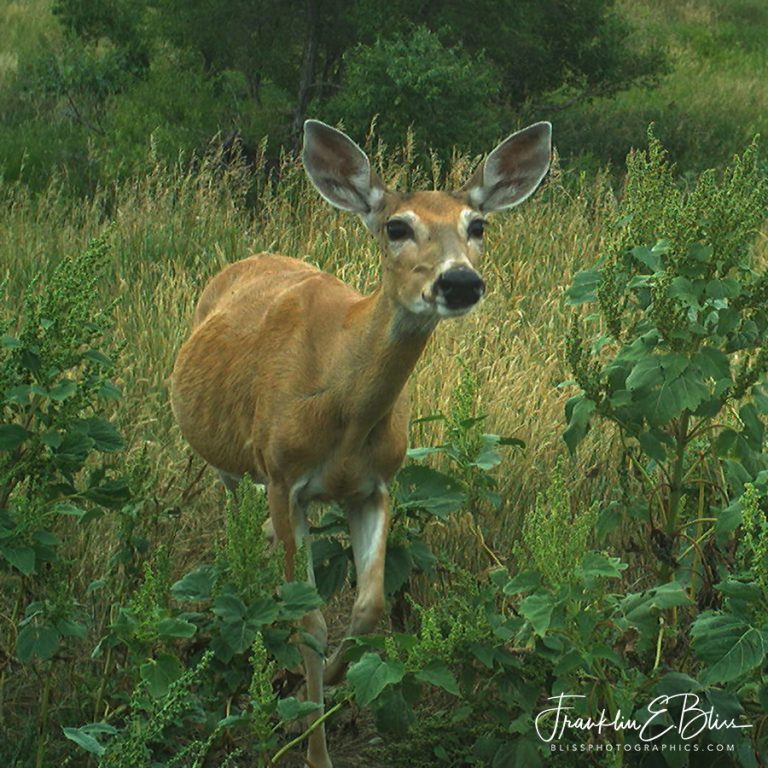 Curious Whitetail Deer Doe 120419W