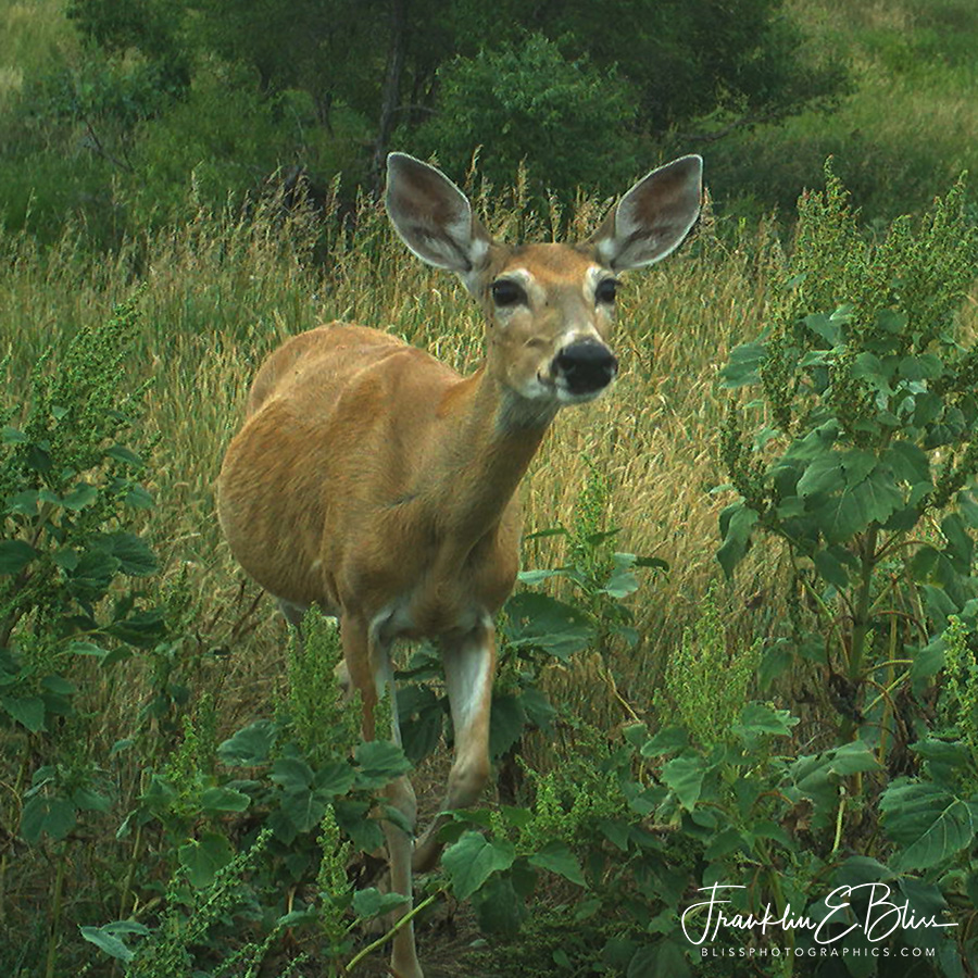 Curious Whitetail Deer Doe