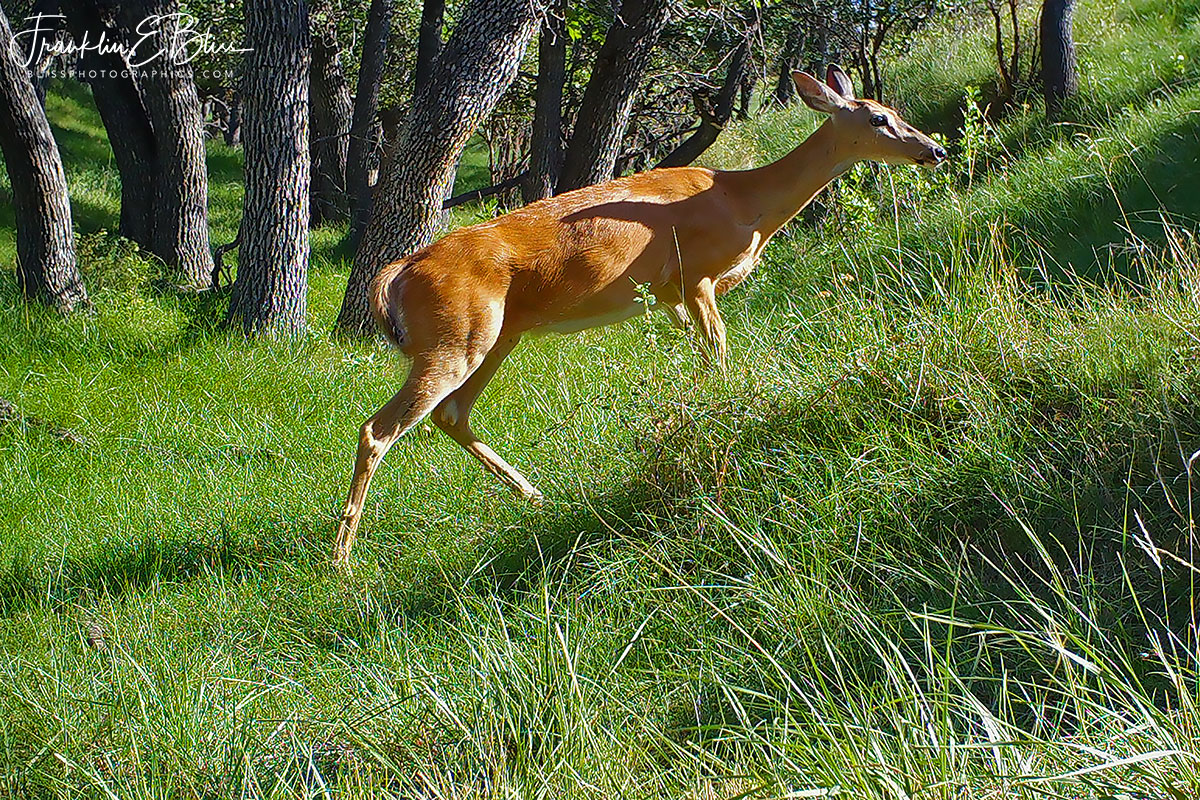 Springtime Whitetail Doe Climbing