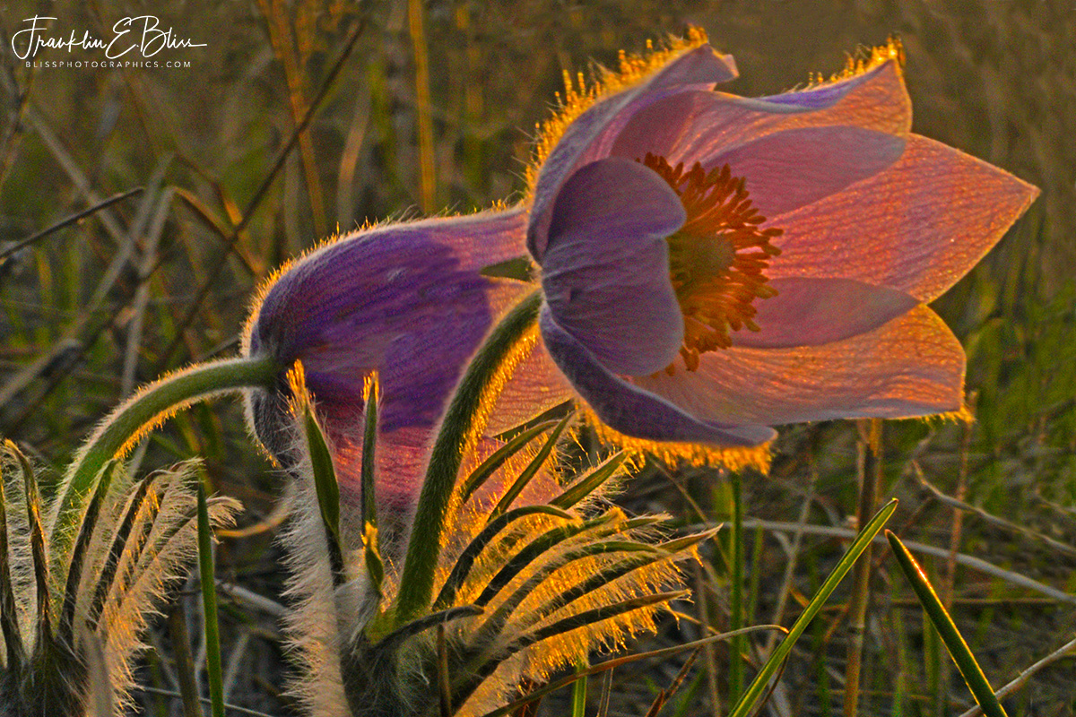Hunting the Wild Pasque Flower