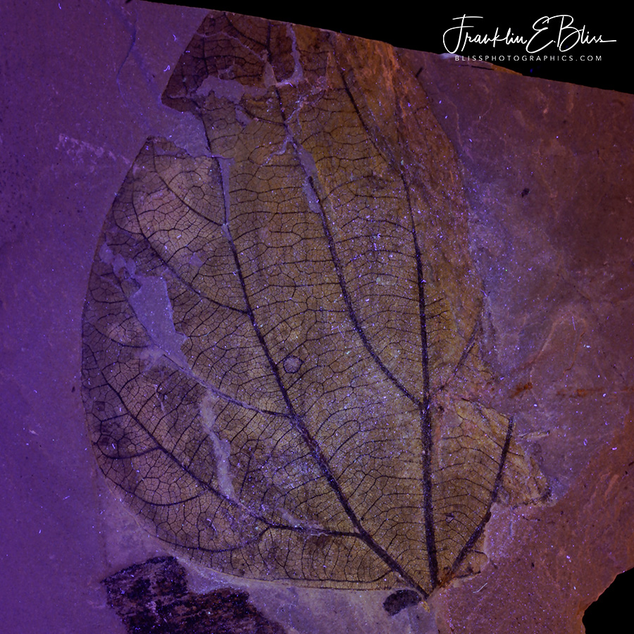 Fossil Leaf UV Light