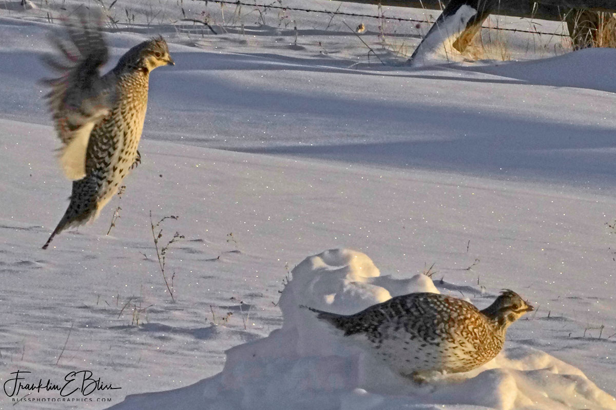 Sharp Tail Grouse Incoming