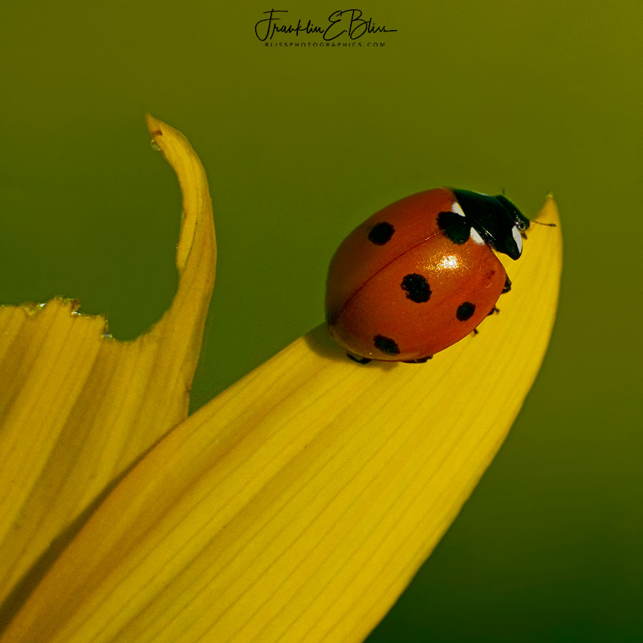 Lady Bug on Daisy