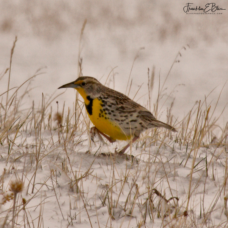 Meadowlark Getting Cold Feet