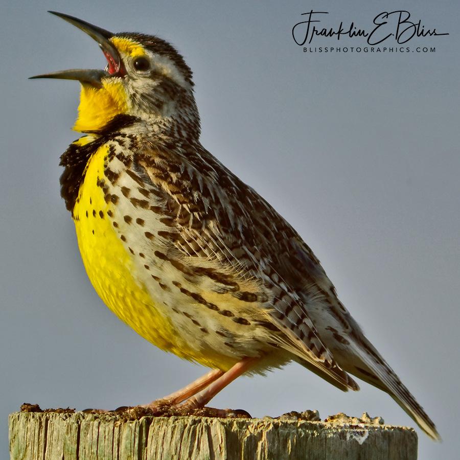 Meadowlark's Morning Song