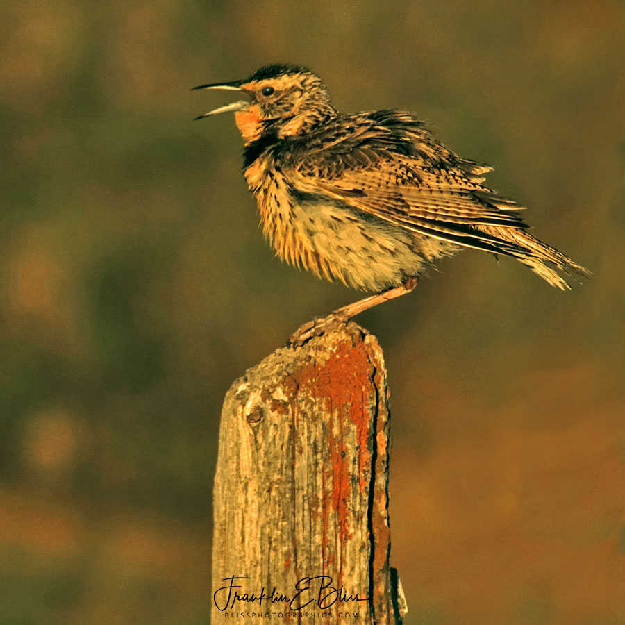 Meadowlark All Ruffled Up