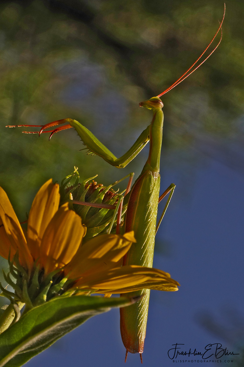 Sunflower with Praying Mantis