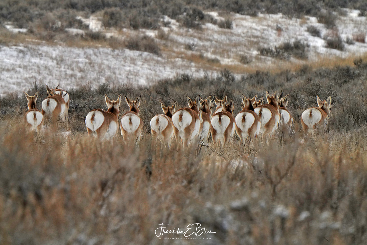 Pronghorn Hinds Heading Hillside