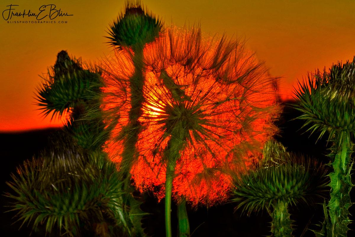 Thistle Globe Sun Filter