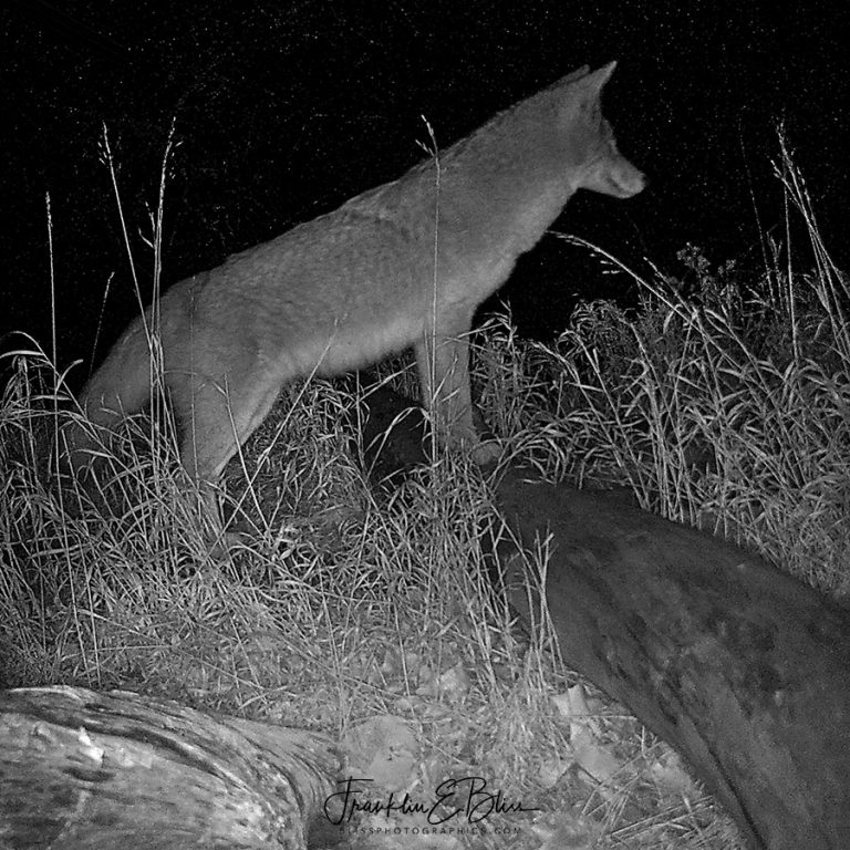 Coyote Alert On Lookout 011620B