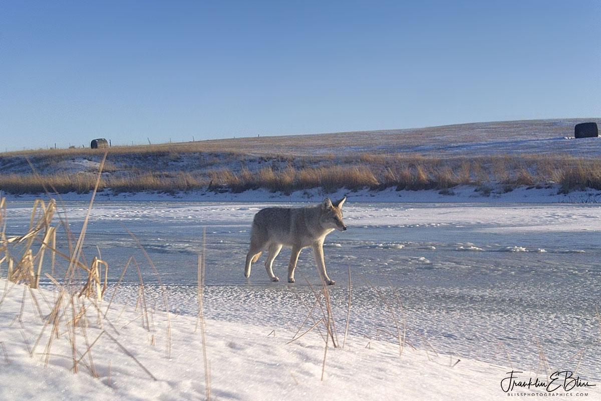 Ice Road Coyote