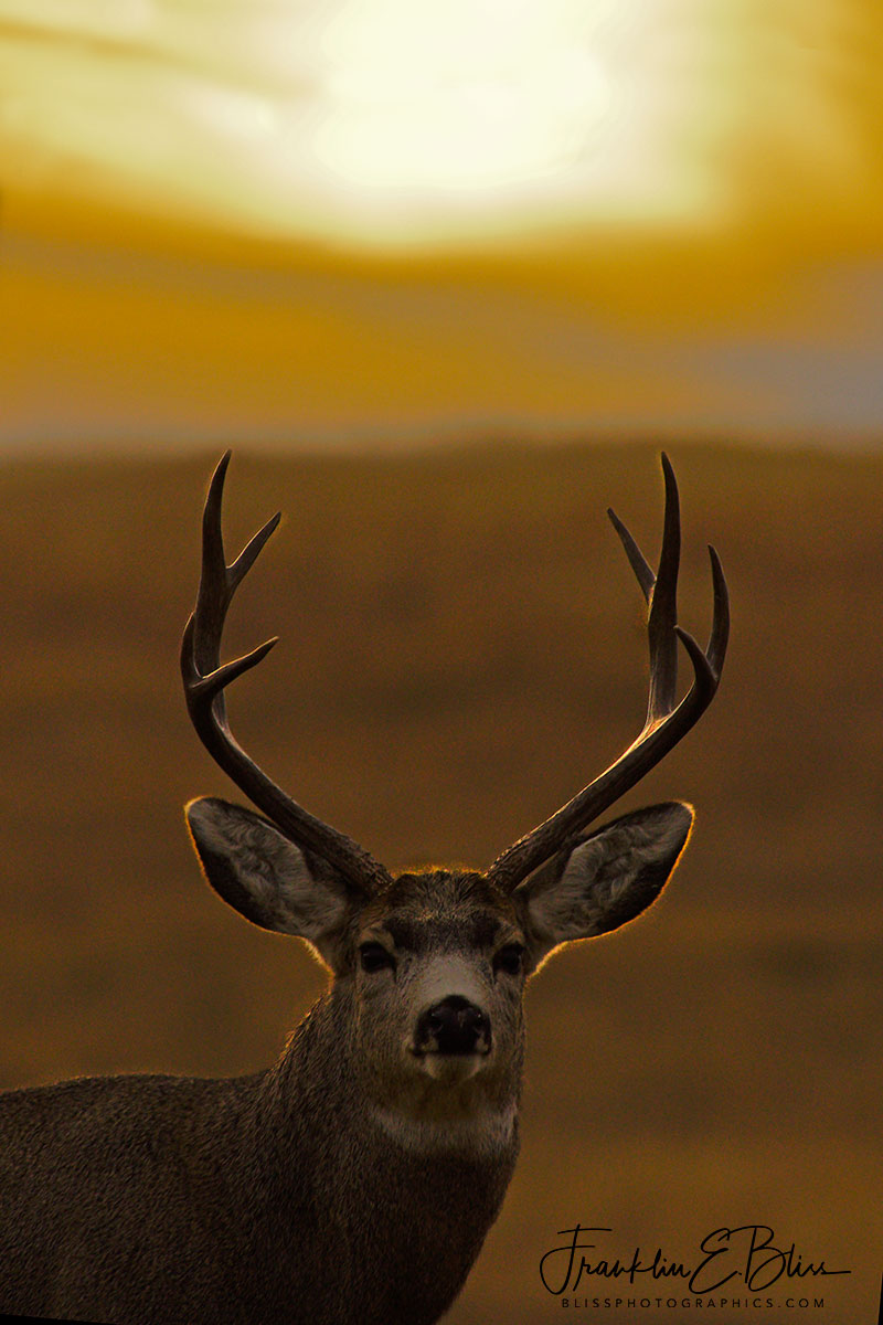 Mule Deer Buck Sunset