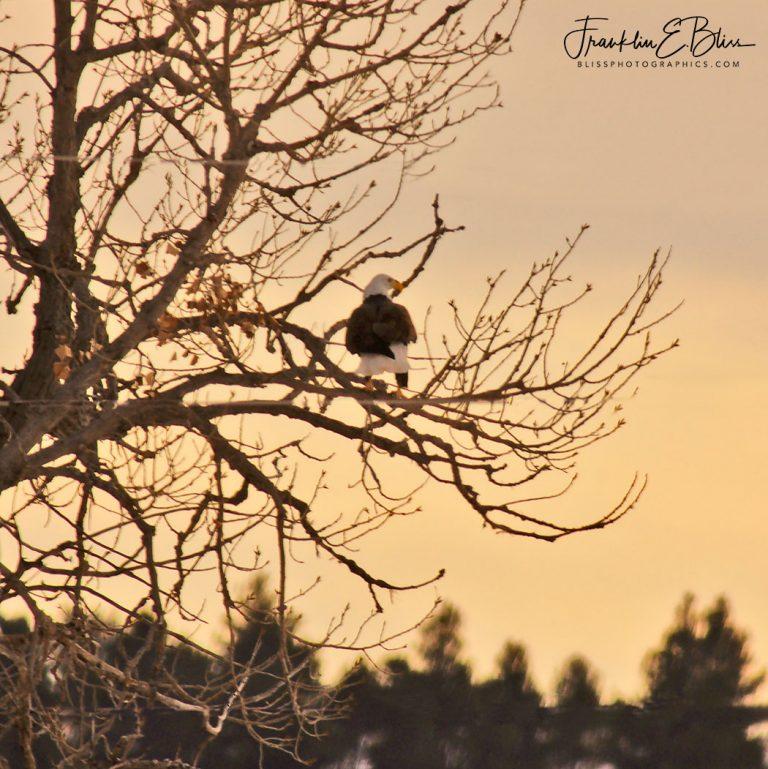 American Eagle in Twilight 011320L