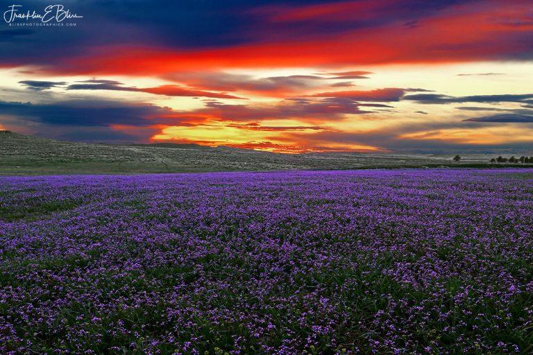 Sunset over Purple Carpet 011320A