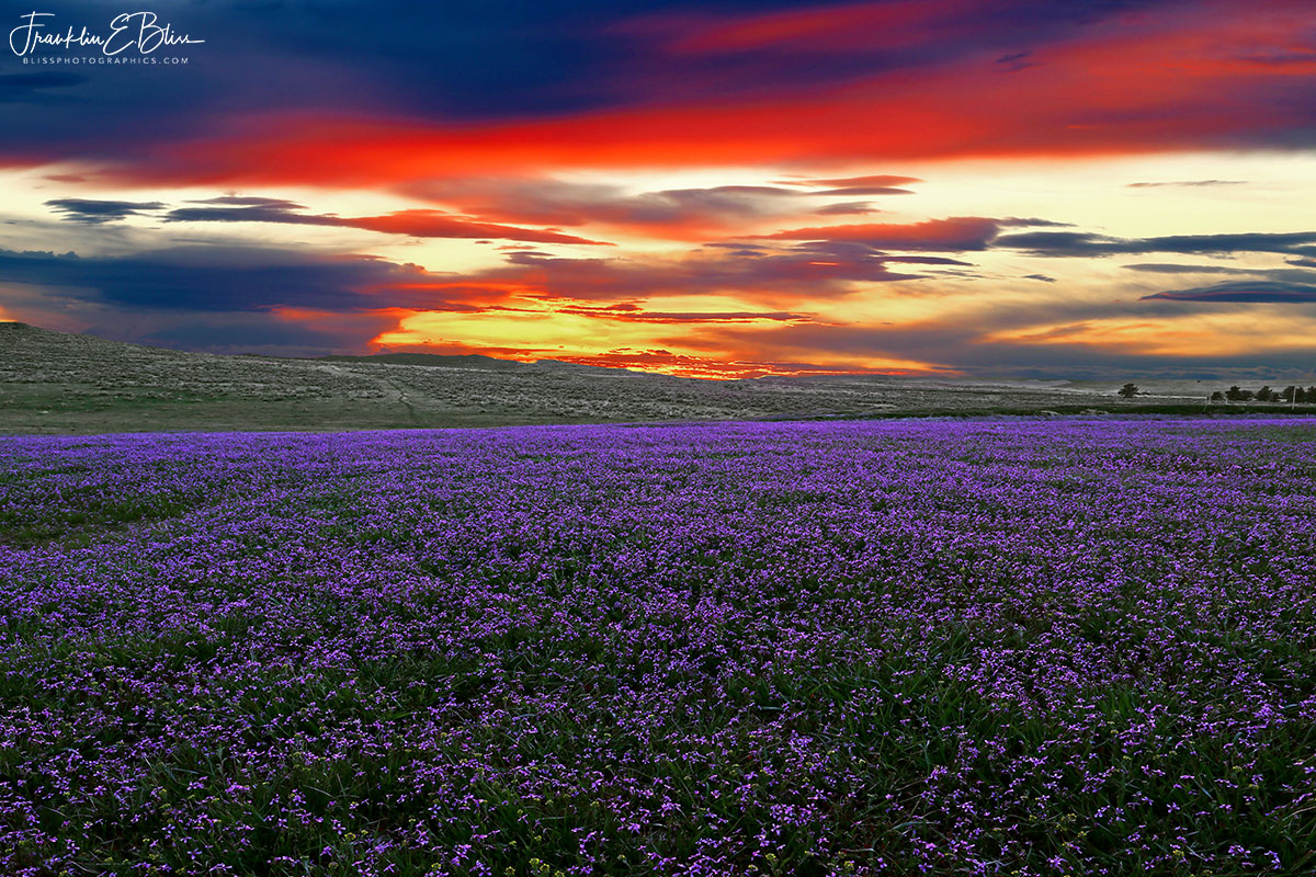 Sunset over Purple Carpet