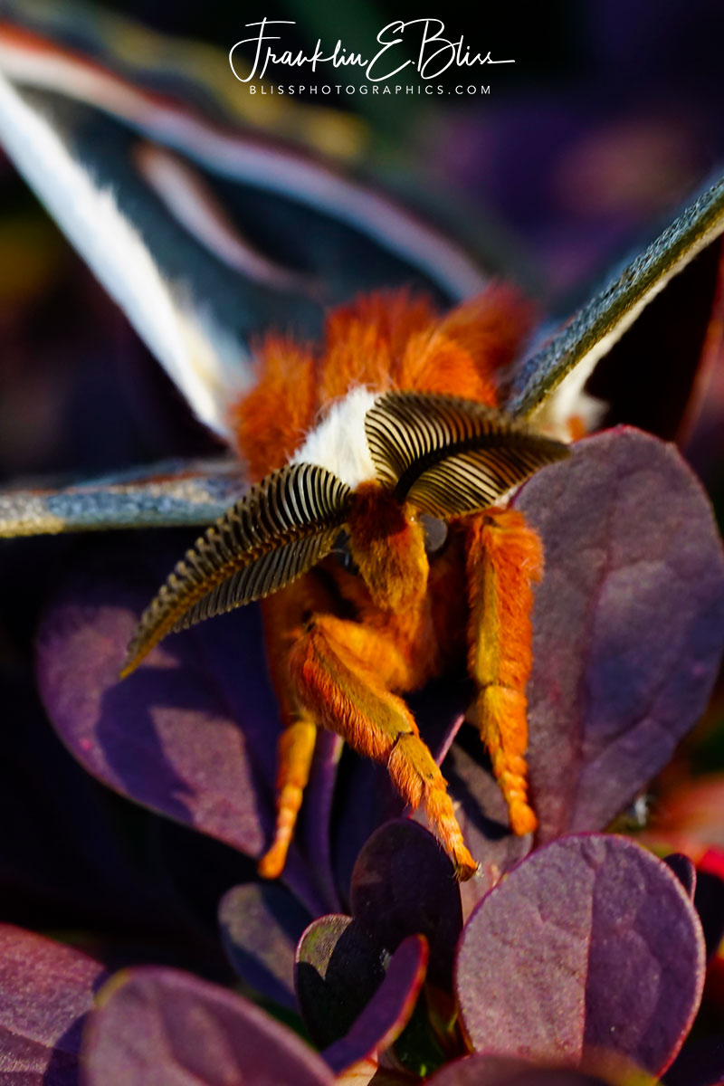 Glover Moth on Purple Barberry
